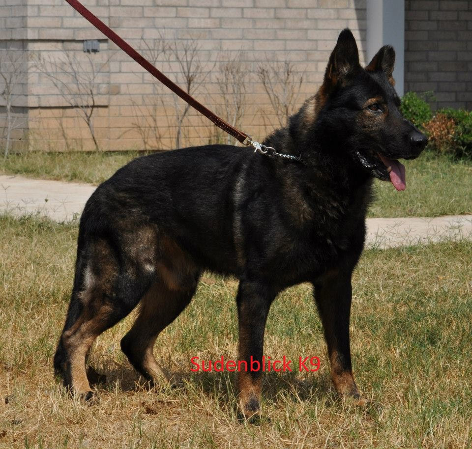 Black sable ddr german shepherd