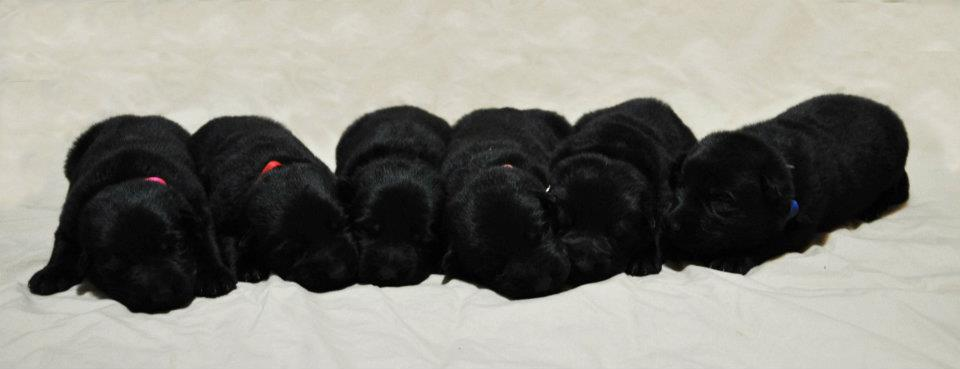 Black ddr german shepherd puppies